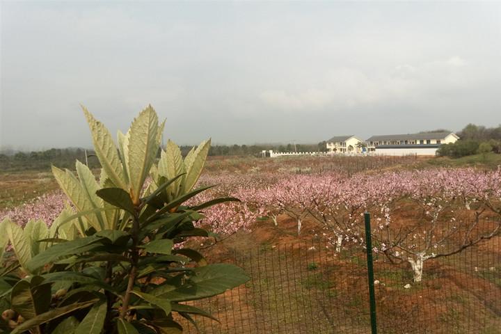 武汉春游赏花1.jpg